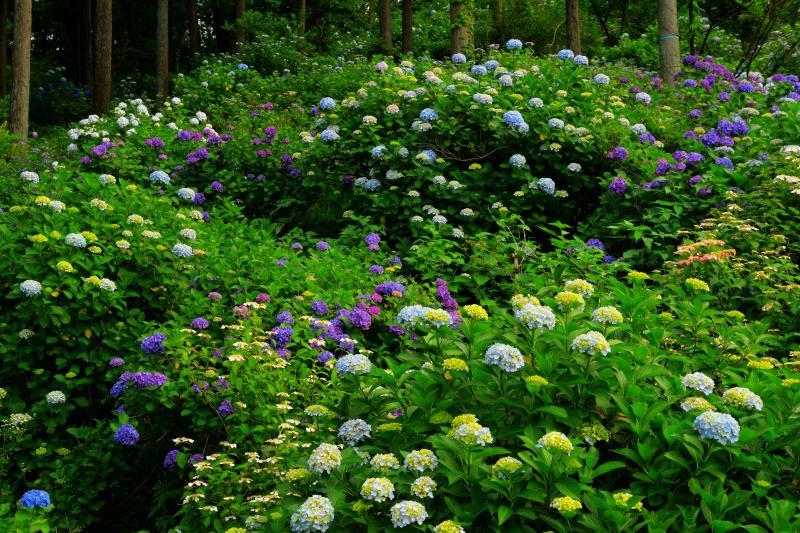 [ 斜面に咲き誇る紫陽花たち ]  境内の山の斜面を埋め尽くすように様々な色のあじさいが植えられていました。