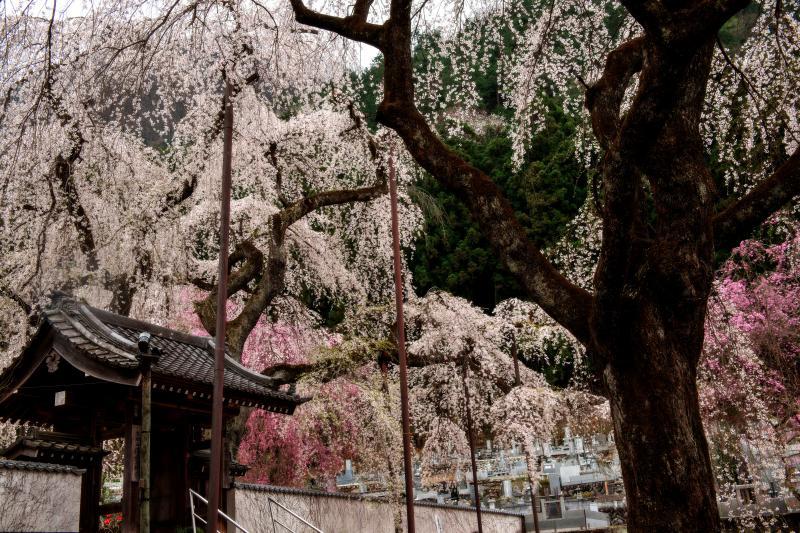[ 桜に埋もれる寺院 ]  三十本ものしだれ桜が境内と空を埋め尽くす、しだれ桜の名所。