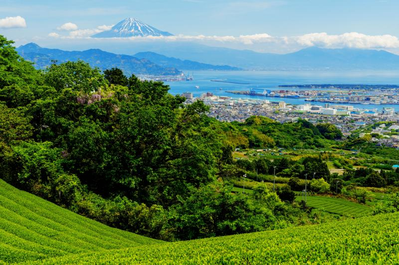 [ 茶畑と海と富士 ]  日本平の茶畑から清水港と富士山を撮影。手前の木には藤が咲いています。