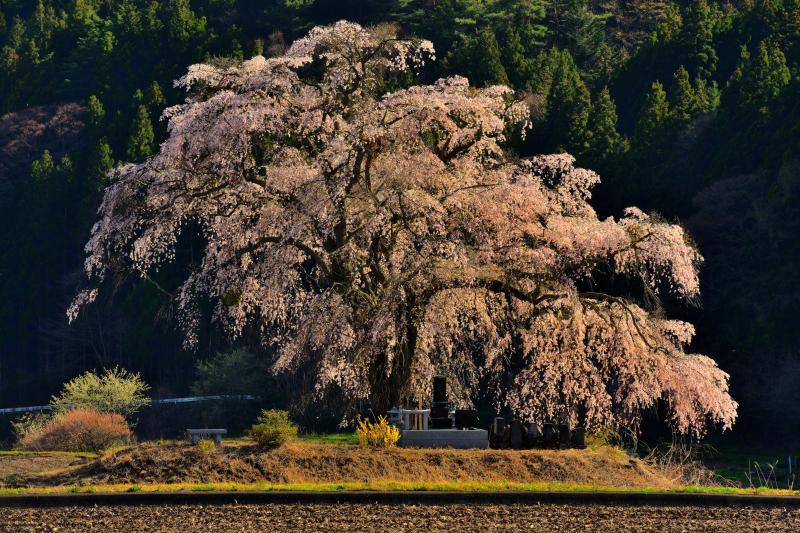 [ 夕陽に輝いて ]  斜光を浴びた桜が美しく浮かび上がっていました。