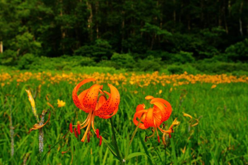 オニユリとニッコウキスゲの群落 | 湿原では存在感のあるオニユリと、黄色い絨毯のようなニッコウキスゲの群落を見ることができます。