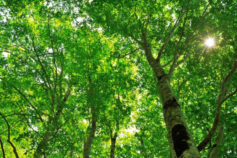 [ ブナ林の木漏れ日 ]  空を埋め尽くすほどのブナの枝と葉。空一面に緑の世界が広がっていました。