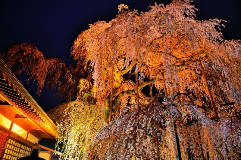 慈雲寺の桜 |