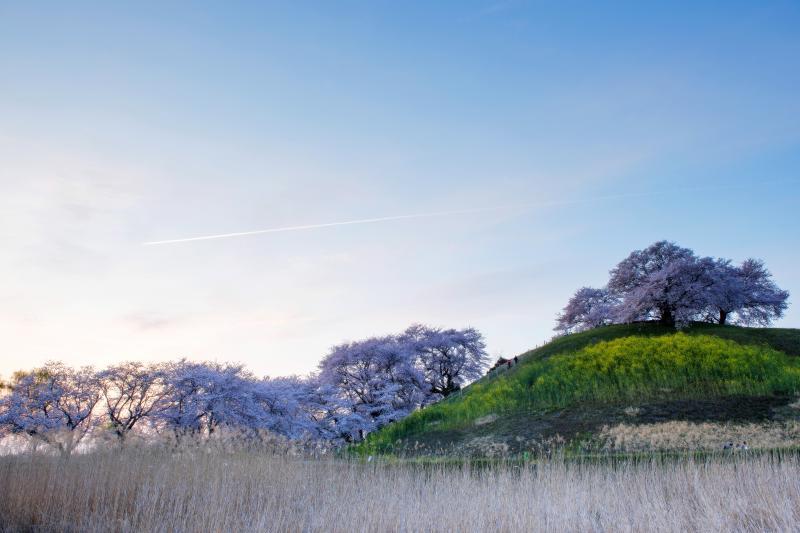 [ 古墳の桜と夕暮れ ]  古墳手前の桜並木の上に飛行機雲が現れました。