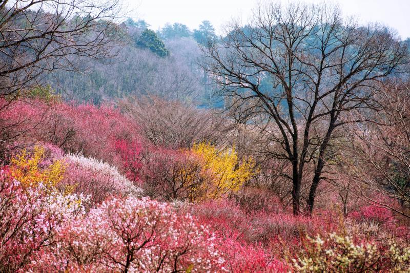 丘陵の春 | 森林公園の梅園の最上部からの俯瞰写真です。春を満喫できる場所です。