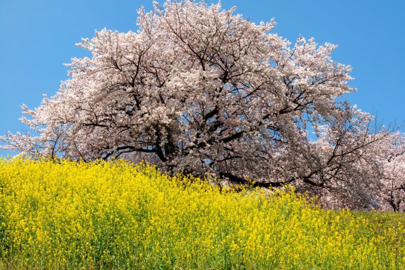 爽快   菜の花の上で桜が咲き誇っています。菜の花と桜の写真が撮れるスポット。
