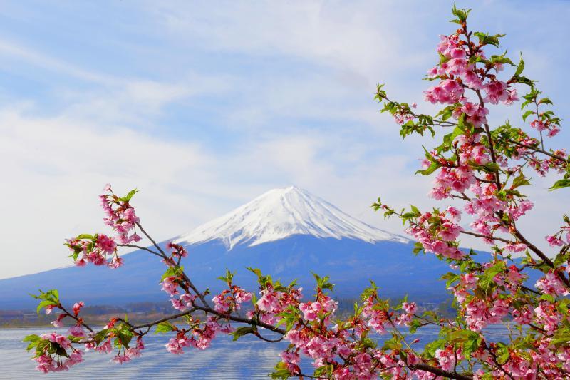 [ 春の波紋 ]  湖畔にピンクの河津桜が咲いていました。ピンクの花がブルーの湖面と空に映えます。