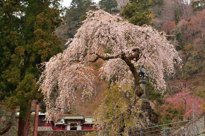 [ しっとりと咲くしだれ桜 ]  妙義神社の境内にあるしだれ桜。総門の近くから撮影。