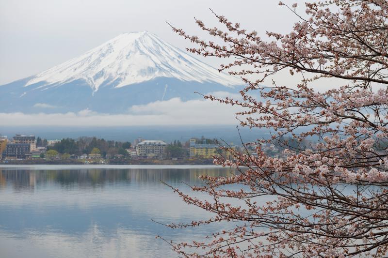 [ 河口湖の桜 ]