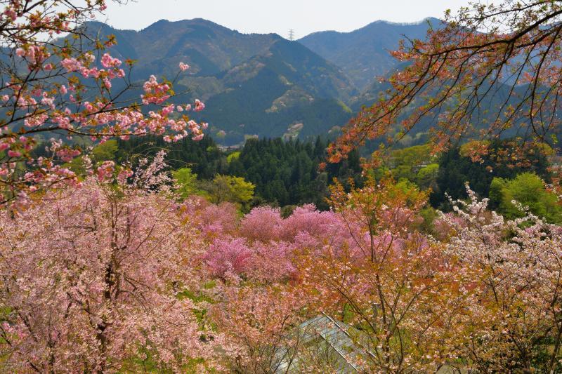 [ 八重咲く里山 ]  新緑と八重桜の桃源郷が広がっています。