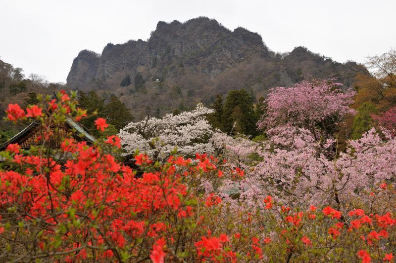 [ 妙義山 春爛漫 ]  迫力ある日本三大奇景のひとつ妙義山と賑やかな春の花たち。山の中腹に「大文字」が見えます。