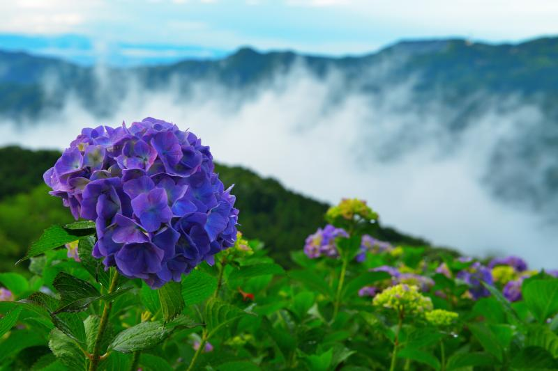 美の山の紫陽花  