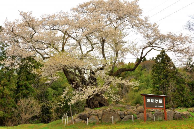 [ 樹齢300年の古桜 ]  猿ヶ京温泉・赤谷湖(相俣ダム)近くにあるエドヒガンザクラです。