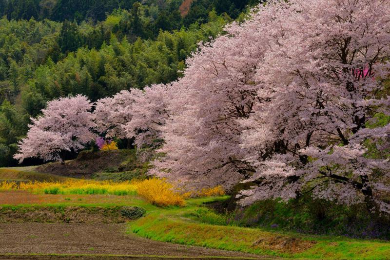[ 曲線美 ]  桜並木が美しい曲線を描いています。新緑と色鮮やかな花々が眩しいほどに光輝いています。