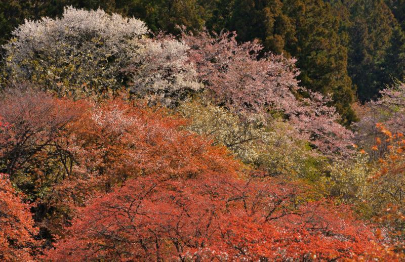 [ 美の山公園の山桜 ]  ヤマザクラは一本一本異なる色の花を咲かせ色彩豊か。