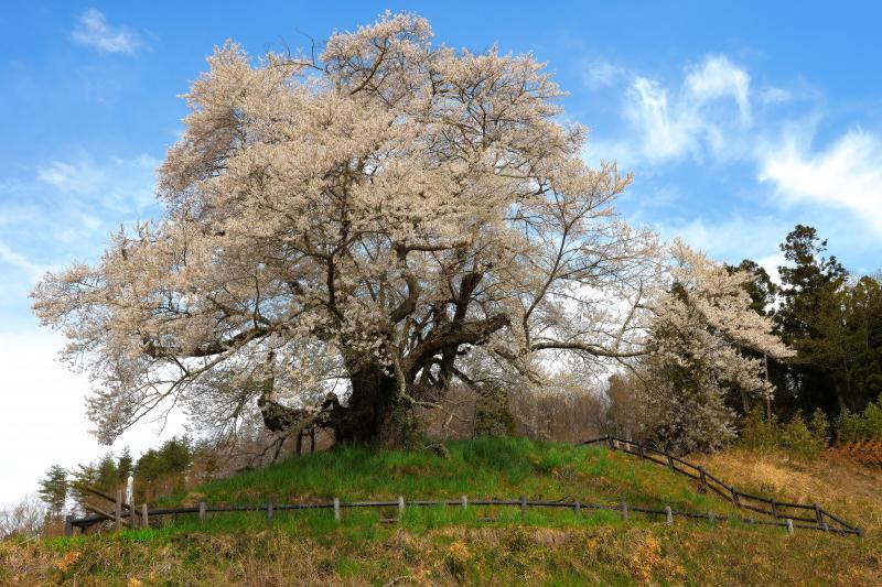[ 発知の苗代桜 ]  上発知のシダレザクラの南に位置する群馬県の天然記念物に指定されている古桜。