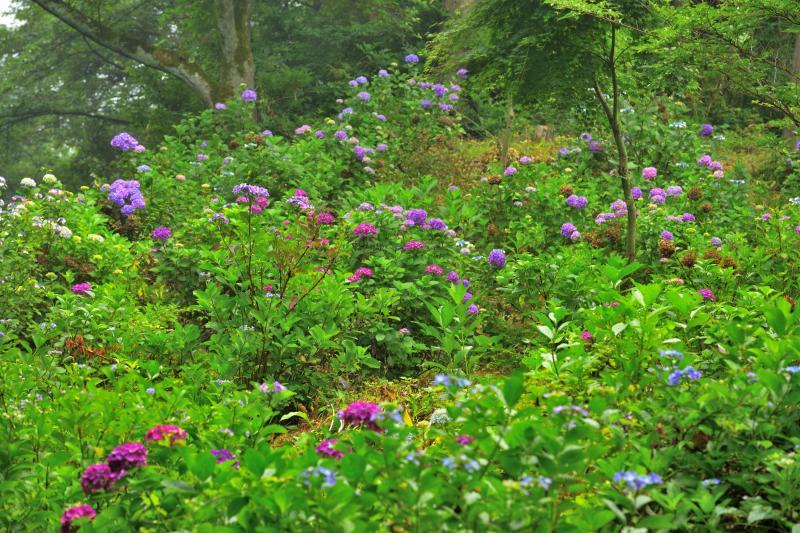 [ 斜面に咲き誇るあじさい ]  山の斜面に多くの種類の紫陽花が咲いています。雨が降った直後で、花が生き生きしていました。