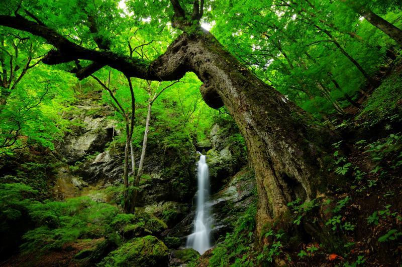 トチノキの巨木と不動滝 | 険しい急斜面に鎮座するトチノキはこの森の主のよう。滝が小さく見えるほどの巨木です。