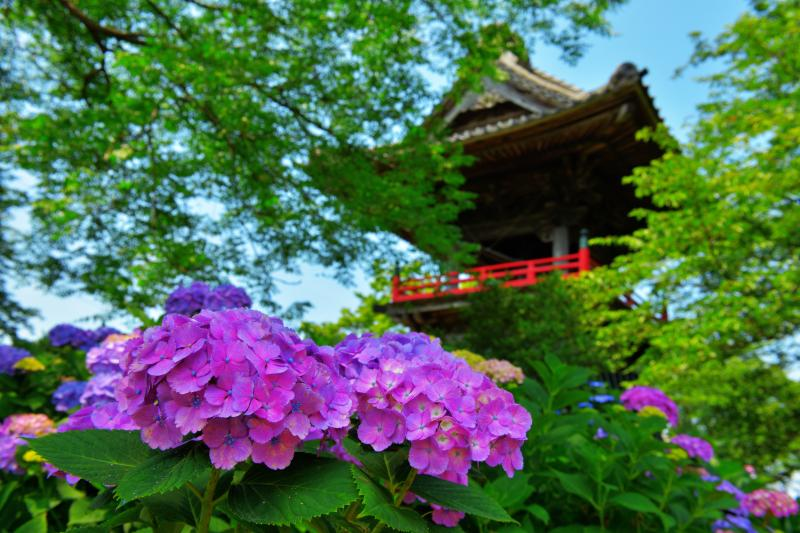 [ 鐘楼を飾る紫陽花 ]  大きく綺麗な紫陽花の花が目の前に。通路が多く整備されており、色々な構図で撮影を楽しめるお寺です。