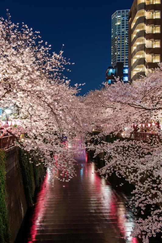 [ 都会の桜並木 ]  桜並木の周辺には高層マンションが見えます。都会ならではの桜並木風景が楽しめます。
