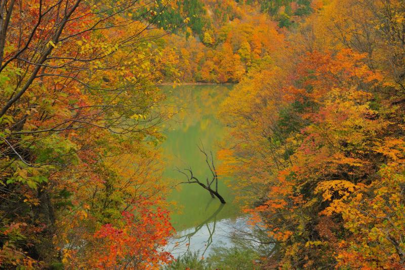 [ 紅葉に佇む立ち枯れ ]  燃えるような紅葉に包まれた胴元湖。ダム湖の水面から一本の立ち枯れが顔を出していました。