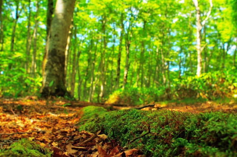 [ 苔とブナ林 ]  遊歩道には苔の生えた木の根がありました。森の中は水分が多くみずみずしい感じがしました。