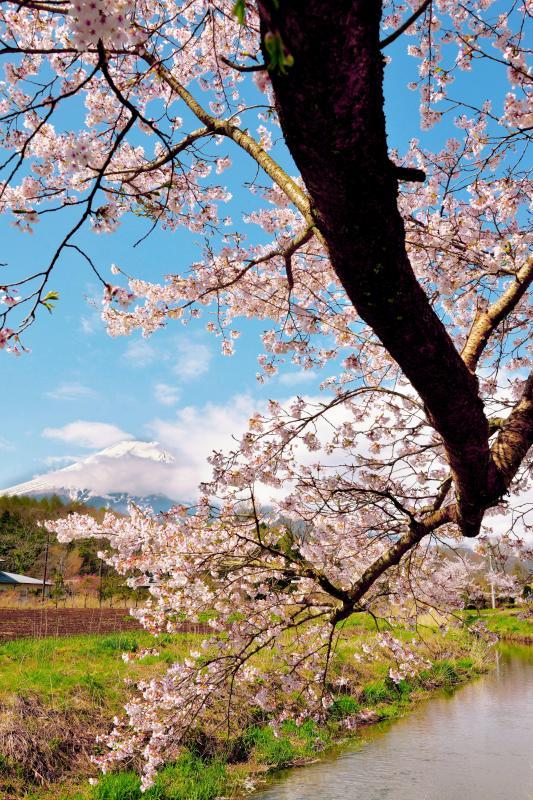[ 長閑な春の物語 ]  忍野村の川沿いにある桜と富士山。雲が抜け、富士山登場。