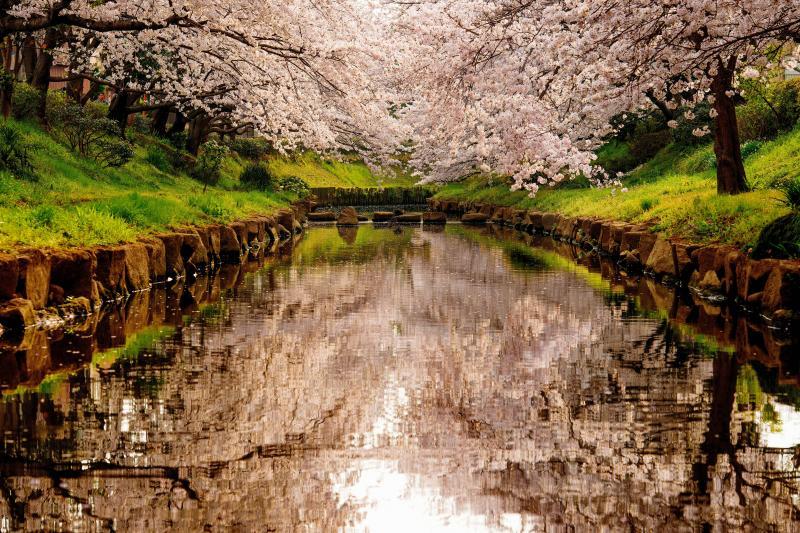 [ 春鏡 ]  静かな川面は桜を映す鏡のよう。春の暖かい光の感じが美しい瞬間でした。