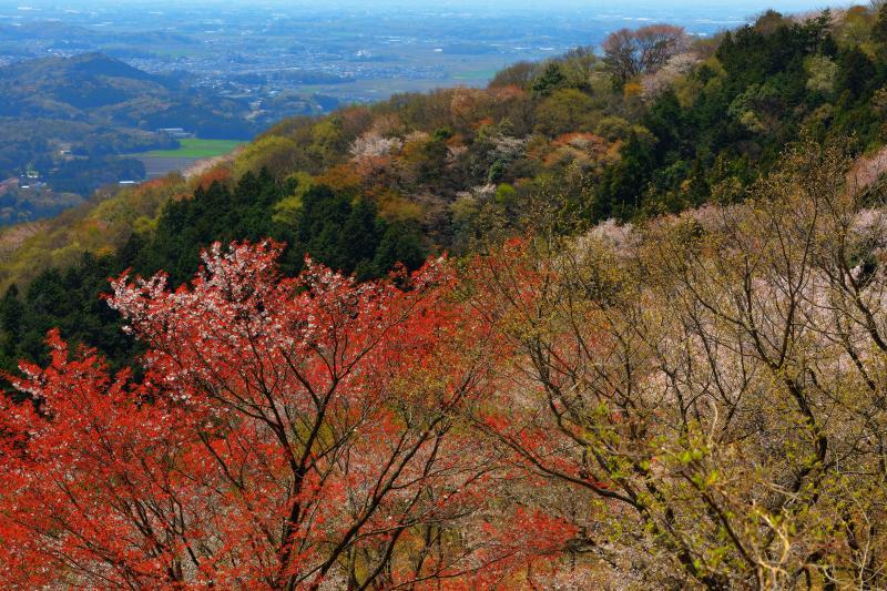 [ 高峯山・平沢林道からの眺望 ]  桜の時期、平沢林道は車両通行止めになります。1時間ほど林道を歩くと山桜の斜面を見下ろすことができます。