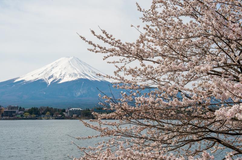 [ 桜と富士 ]  河口湖の桜と逆さ富士の名所で撮影。