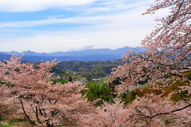 [ 桜舞う公園 ]  城址の桜は満開を過ぎ、風が吹くと花びらが空に舞っていました。里山風景が広がり、その先には残雪の浅間山が見えます。