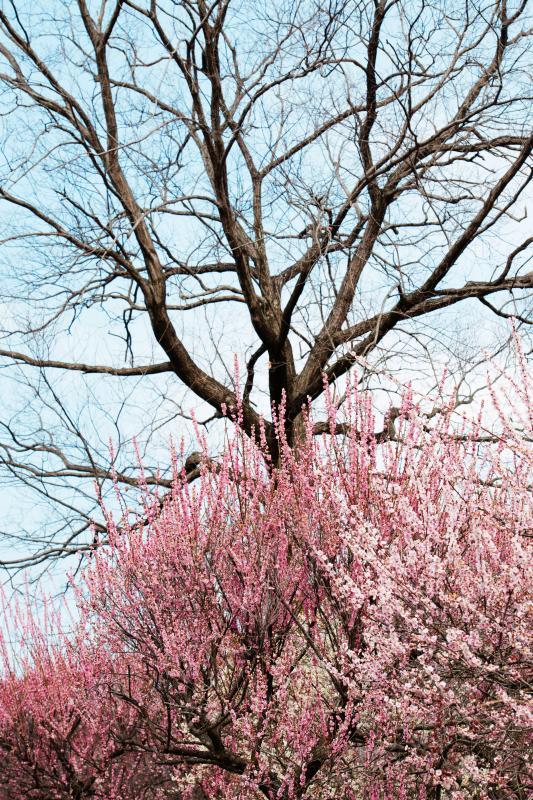 [ 大樹と梅 ]  冬から春へと季節の変化を感じます。春の霞のかかった柔らかい感じの空でした。