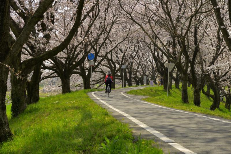 [ 堤の上のサイクリングロード ]  堤の上は遊歩道&サイクリングロードになっています。桜並木のカーブを自転車が駆け抜けていきました。