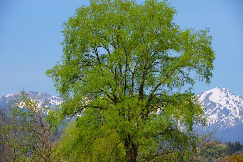 [ 谷川岳残雪 ]  公園に立つ新緑の木の向こう、雪の残る谷川岳が輝いていました。
