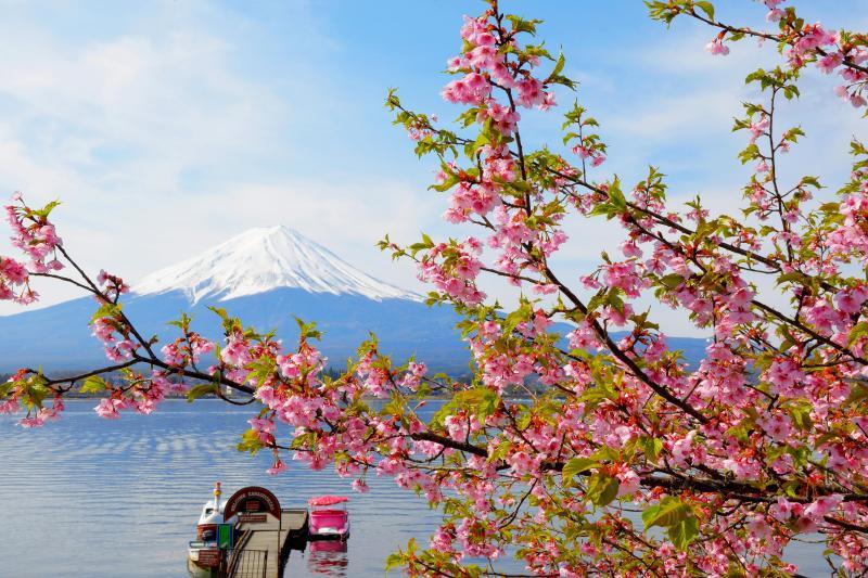 メルヘン| ピンクの河津桜とピンクのボート。かわいらしい河口湖の春。