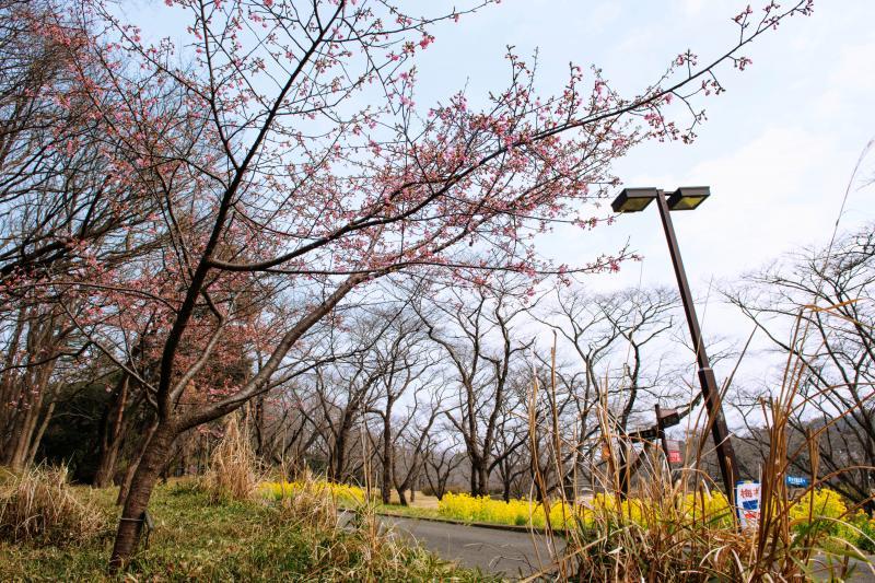 [ 南口の桜並木 ]  南口を入ってすぐのところに桜並木があります。