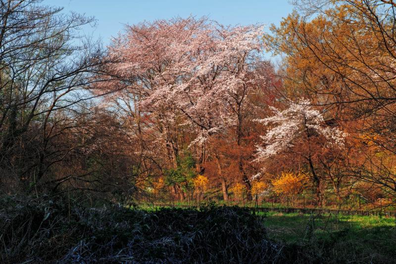 [ 自然公園内の桜 ]  北本のエドヒガンの周辺には、他の桜の木もあります。