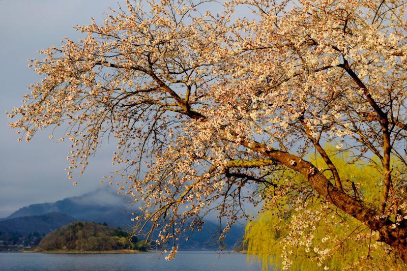 [ 朝日を浴びる湖畔の桜 ]  湖畔の桜の木々に朝陽が当たって来ました。富士山と一緒に撮影したい枝に陽が当たるのももう少し!