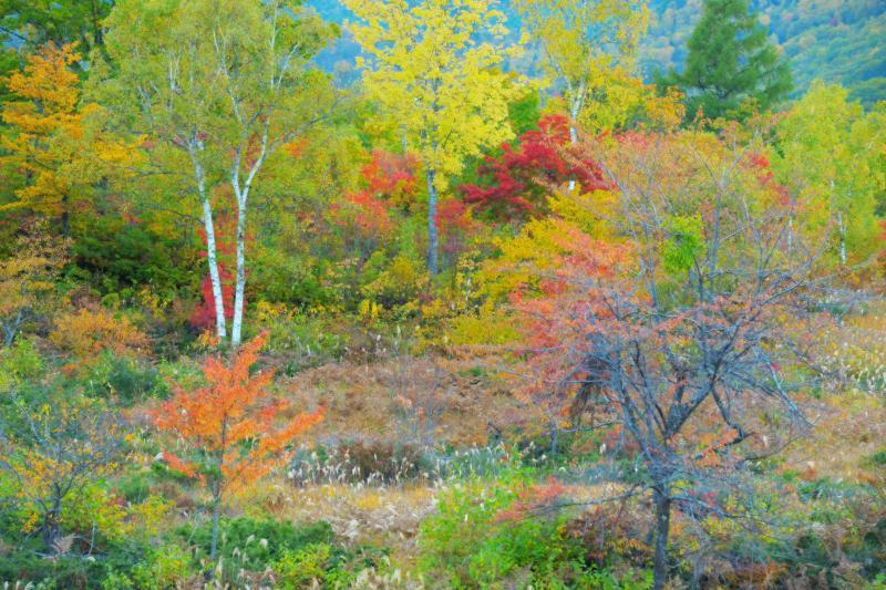 [ 秋に踊る木々 ]  紅葉する高原に光が注ぎ、色づいた葉っぱが踊るように風に揺れていました。ハイキー&ソフトフィルター効果で現像。