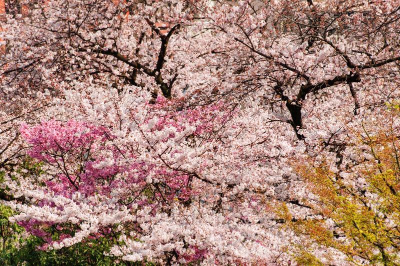 [ 春爛漫 ]  幾つもの種類の桜が重なるように咲き誇っています。