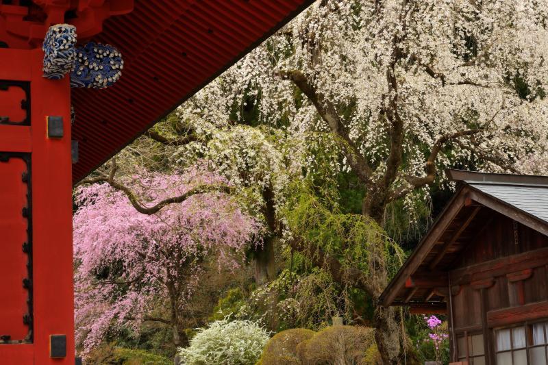 [ 赤門としだれ桜 ]  妙義神社の総門と境内で花を咲かせるしだれ桜。インパクトのある赤と淡いピンクと白の桜花。