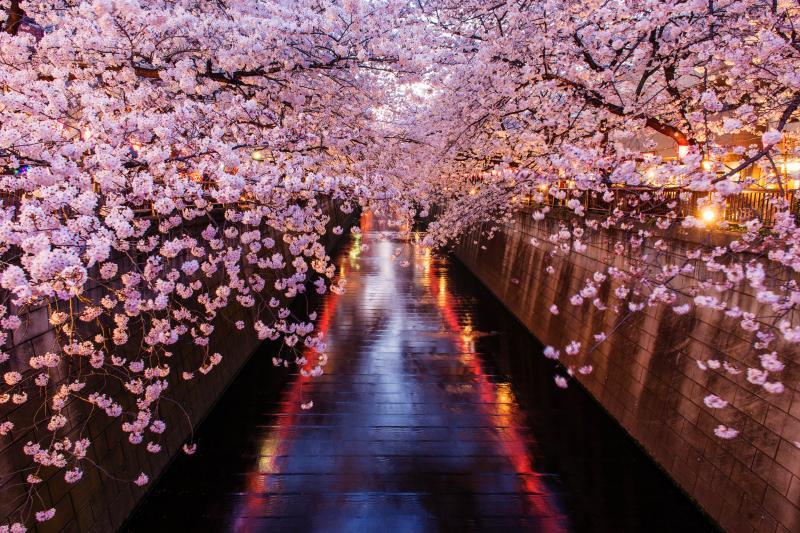 [ 雅 ]  川の両岸から桜が枝を伸ばし、川面にはちょうちんのライトが映っています。