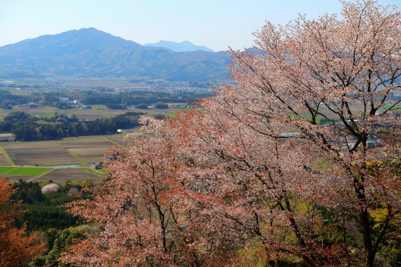 [ 山桜と筑波山 ]  展望台からは田園地帯と筑波山のパノラマが広がります。