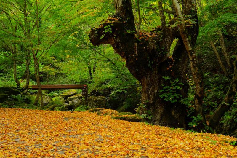 [ 黄金の絨毯 ]  散策路入口付近では、紅葉した葉が道路一面を埋め尽くしていました。