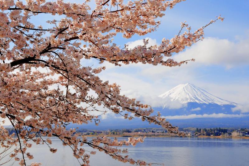 [ 河口湖春景色 ]  湖畔の形の良い桜の枝。雲が程よく流れ、富士山と桜のコラボレーション写真が撮れました。