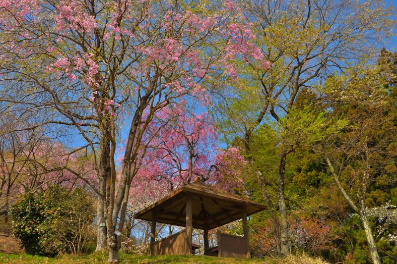 [ 美の山公園の山桜 ]