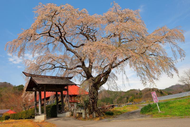 [ 寺院前に立つ一本桜 ]  寺の朱色の屋根が印象的な場所です。発知のヒガンザクラの少し南側に位置しています。