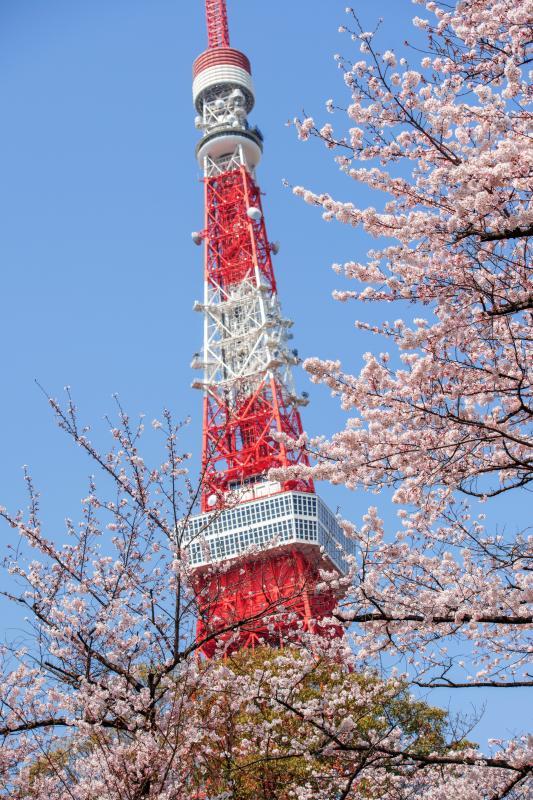 [ 桜とタワーのコラボレーション ]  桜が東京タワーを より魅力的に!タワーの構造美に心を奪われます。