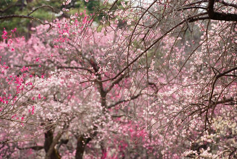 [ 桃色に染まって ]  120種・600本の梅が植えられています。色が多いので、色のバランスを考えながらの撮影が楽しいです。