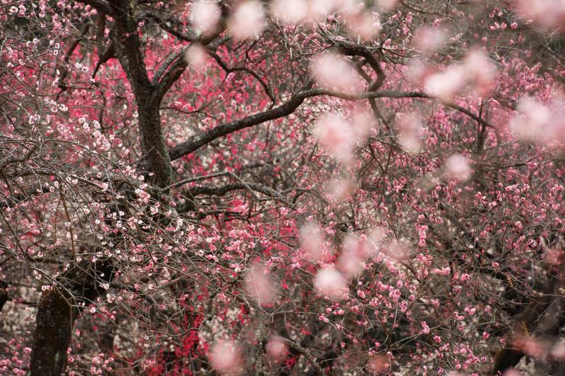 [ 梅花火 ]  咲き乱れる梅の花を望遠レンズで見ると別の世界が広がっています。手前の花が雪のように流れています。
